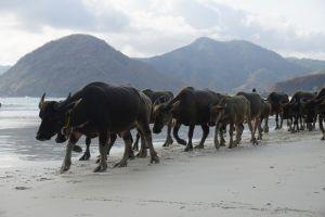 Ossen op het strand van Selong Belanak